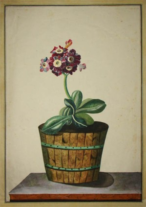 auricula_in_wooden_pot