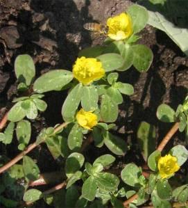 portulaca_oleracea-flowers
